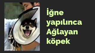 İğne yapılınca ağlayan köpek