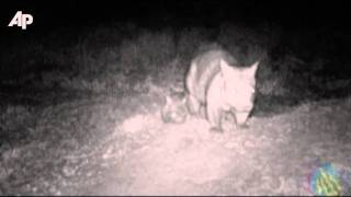 Raw Video: First Steps of Baby Wombat