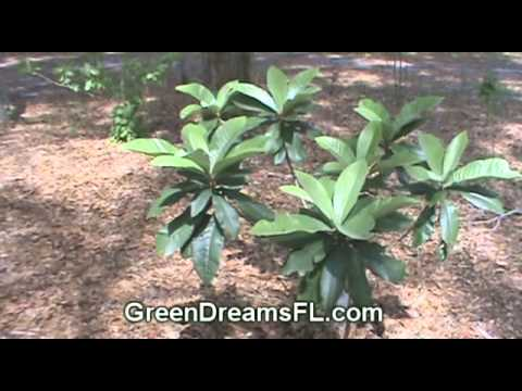 Loquat (Eriobotrya Japonica) Trees For Sale - Great Fruit, Easy To Grow, Reasonably Priced
