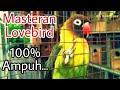 Suara Burung Lovebird Koloni Bikin Nyaut Dan Gacor  Mp3 - Mp4 Download