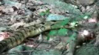 A Rattlesnake at Ramapo Reservation