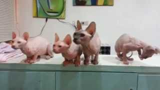 Cats dancing - Sphynx cats