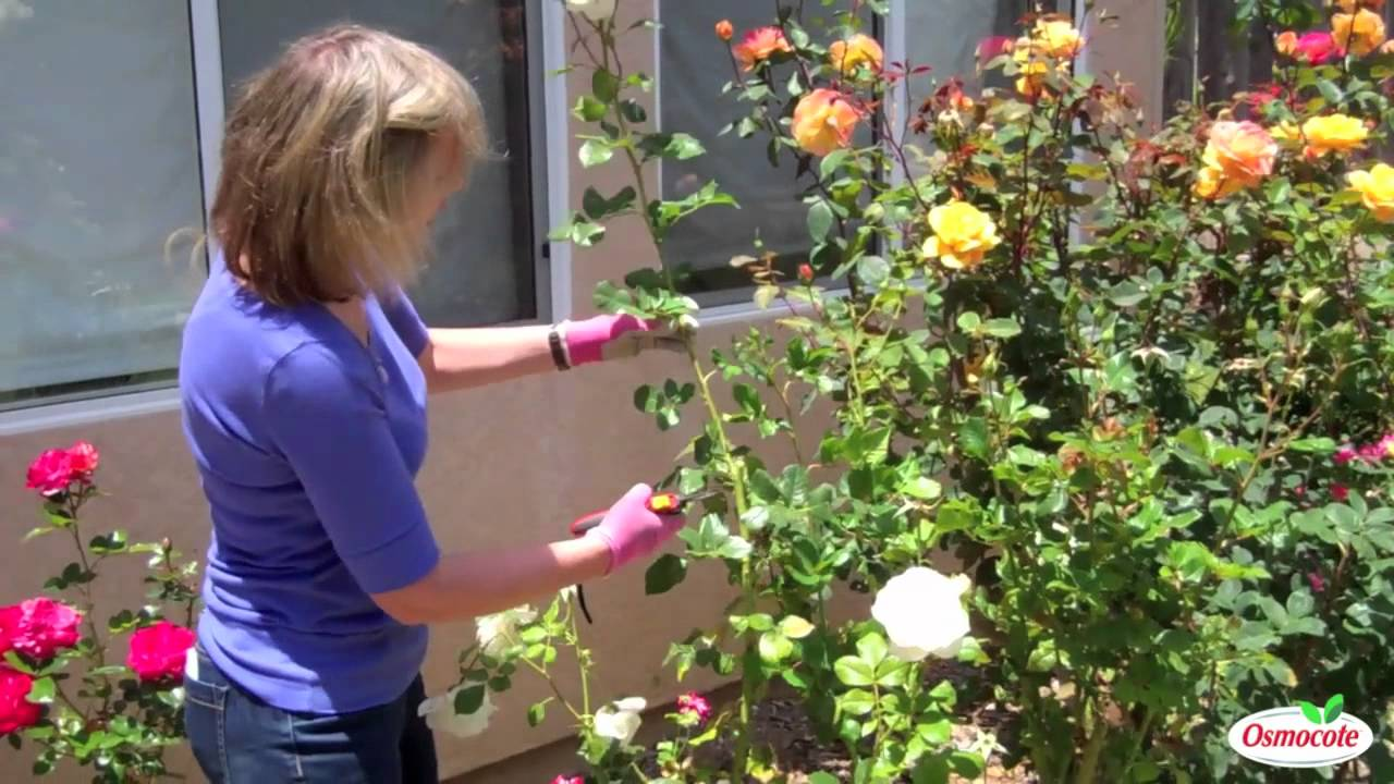 How To Treat Rust on Rose Leaves - YouTube
