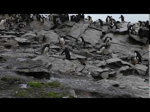 Rockhopper Penguins being themselves