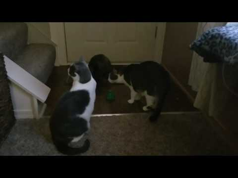 Cats playing with butterfly toy