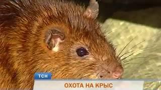 Серая угроза: популяция крыс в Перми выросла в 1,5 раза