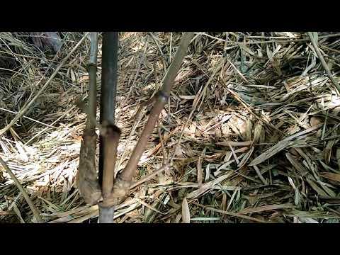 Ciri - ciri Bambu patil lele