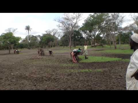 Rice Seeds and Fertilzer given to Farmers in. Africa