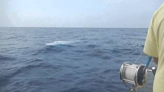 Whale attacking Ono off Kona Coast