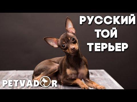 Русский той терьер - всё о породе собак! Уход и забота | Собака породы - русский той терьер