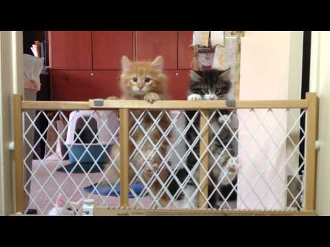 Norwegian Forest Cat Kittens making the 'Great Escape'