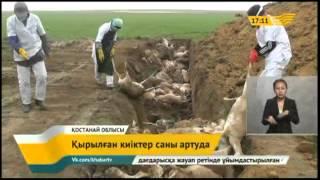 Кількість загиблих сайгаків в костанайської області 27 680 осіб