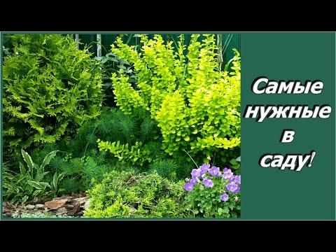 Почему я люблю декоративные кустарники. Что посадить в саду. Сапелин - дизайн дачного участка