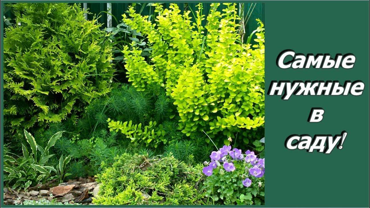 """Почему я люблю декоративные кустарники? Мой декоративный сад и его """"крестный отец""""  А. Сапелин"""