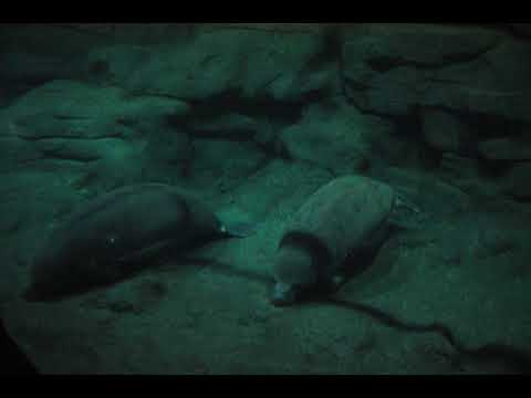 Rare West African manatees in captivity