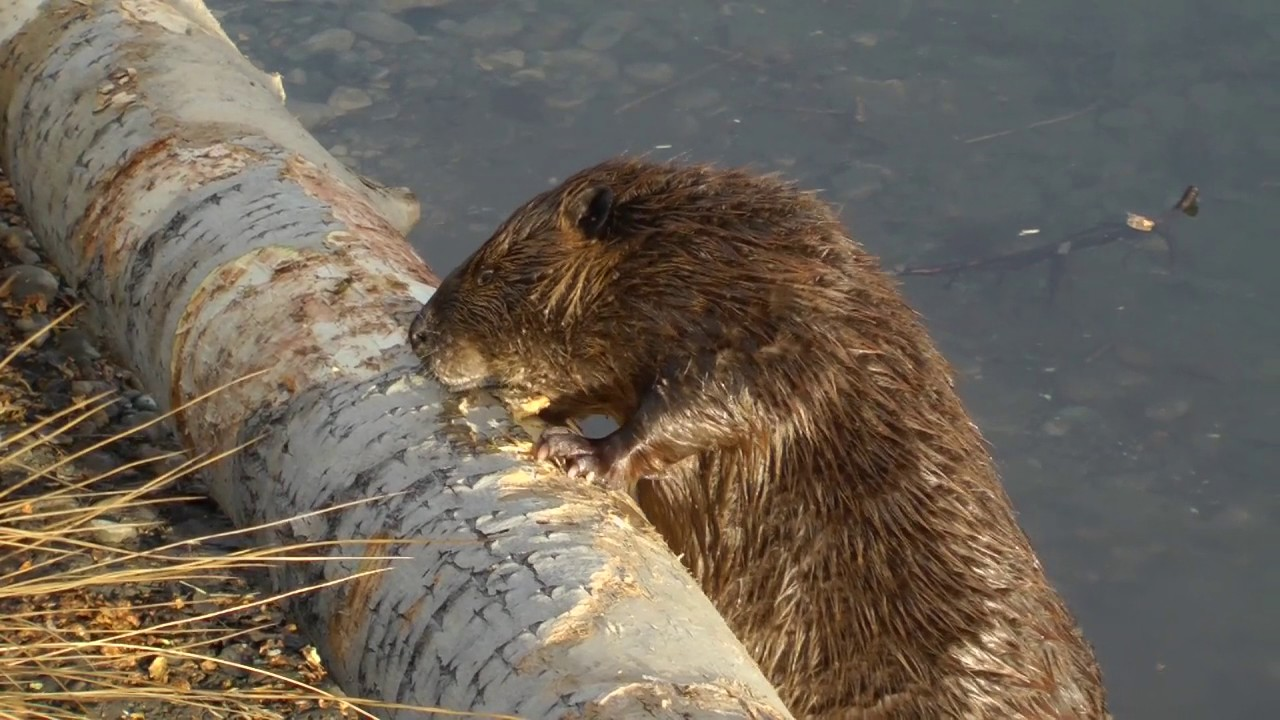 top 10 iconic canadian animals beaver youtube