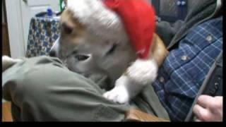 Do Corgis Pull Santa
