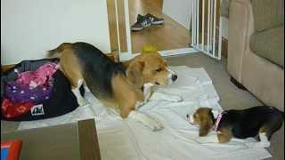 Beagle Puppy Attacks