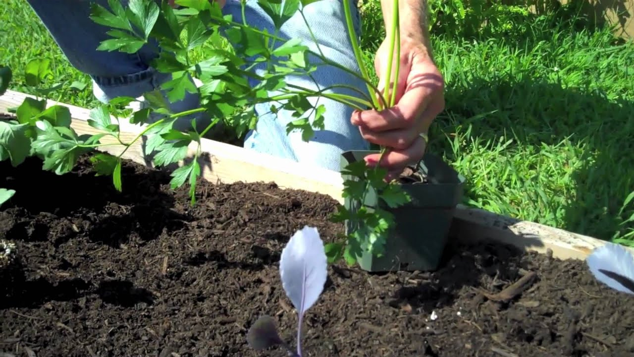 planting fall crops in the garden youtube