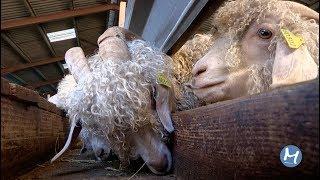 La chèvre mohair