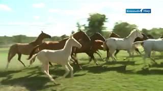 Shael Stud (Part 2) Akhal-Teke breed, Ахалтекинская порода