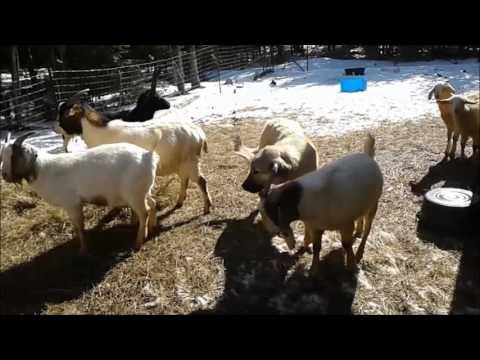 Akbash-Anatolian Shepherd Puppies