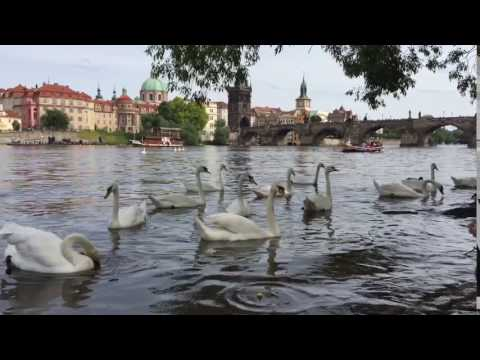 Prague river view - lovely swans