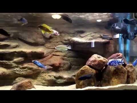 Lake Malawi African Cichlids | How i filter my cichlid tank | filtration |Read for details