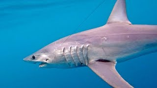 One Hour Battle with a Giant Mako Shark - 4K
