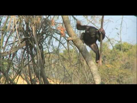 Escape to Chimp Eden - Tony