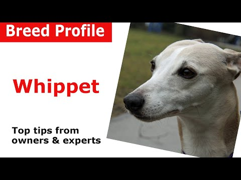 Whippet dog breed guide
