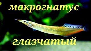 Аквариумные рыбки. Макрогнатус глазчатый(Группа вконтакте-https://vk.com/club.acva Макрогнатус глазчатый или «колючий» угорь. макрогнатус глазчатый относится..., 2016-07-24T18:10:28.000Z)
