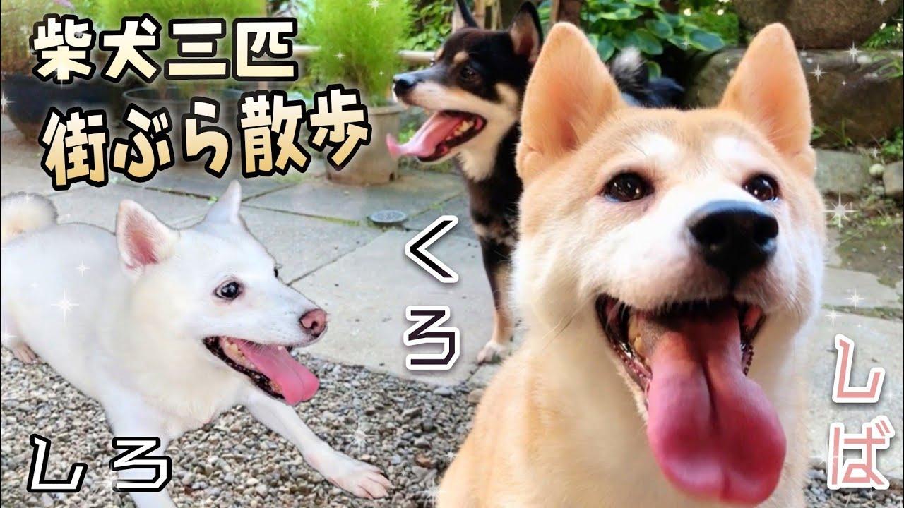 柴犬三匹と夏の夕街ぶら散歩!