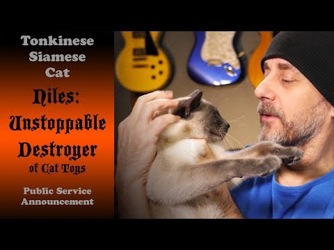 This Cat is an Unstoppable Destroyer of Toy Mice | Siamese Tonkinese PSA