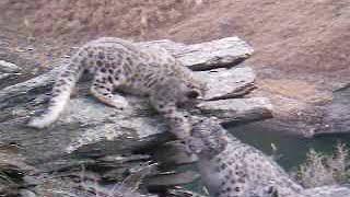 Видео с ловушки  Котята барса