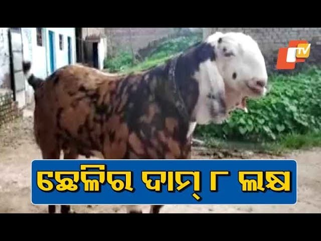 220 Kg Goat Priced At Rs 8 Lakh Ahead Of Bakrid 2019