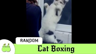 Cat Boxing