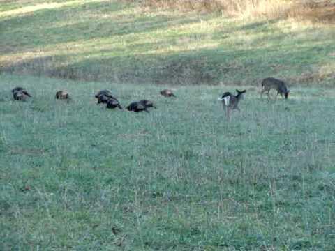 Cades Cove TN turkey and deer feeding