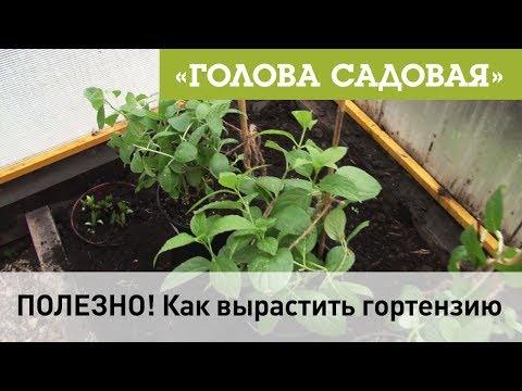 Голова садовая - ПОЛЕЗНО! Как вырастить гортензию
