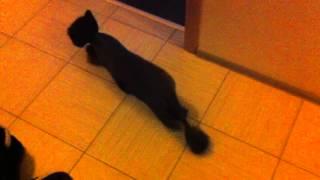 Кот после стрижки под наркозом