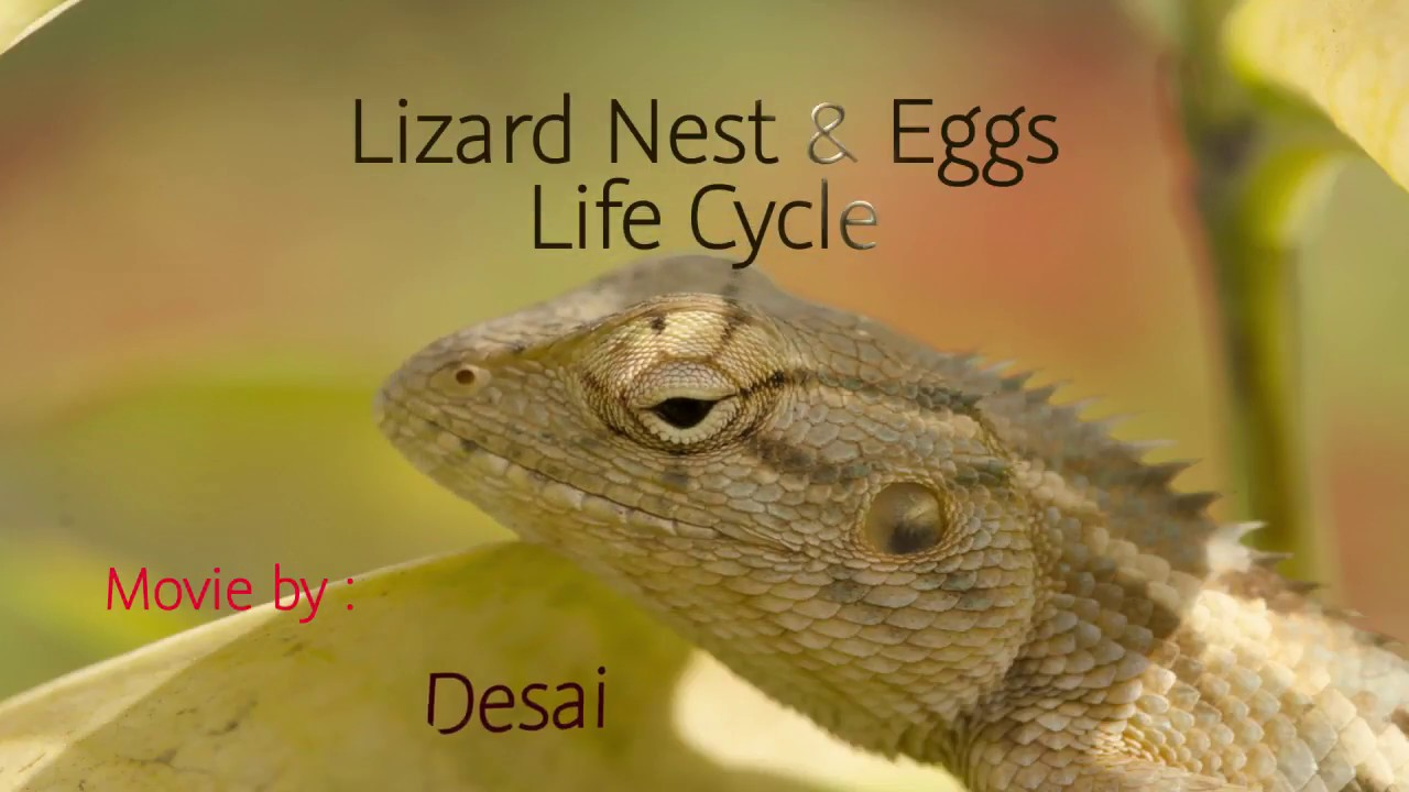 Lizard Nest Amp Eggs Life Cycle