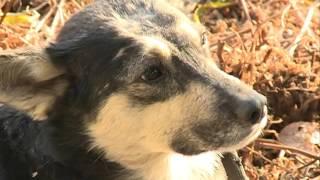 В Чигирях нашли вторую подстреленную собаку: раненый пёс пять суток провёл на ...