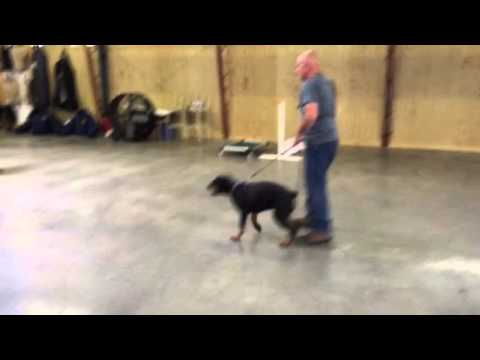 Rottweiler Male Quan Obedience And Protection Trained For Sale