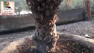 حلقة 279 زراعة نخيل جزء اول فصل فسائل  Planting of palm تقديم م مراد مرعى