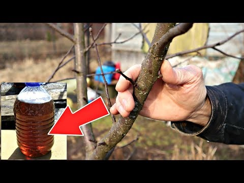 Паразиты мрут на глазах! Экспериментальный раствор спасет все плодовые деревья в вашем саду!