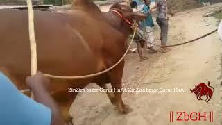 182 | Exclusive | Deshal Bull Madness | New Arrival | Sadeeq Agro | ZbGH 2019