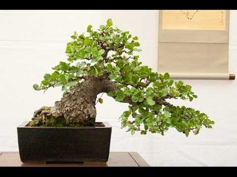 Oak Bonsai Tree Youtube