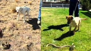 Snake-Bite Training for Dogs and Owners
