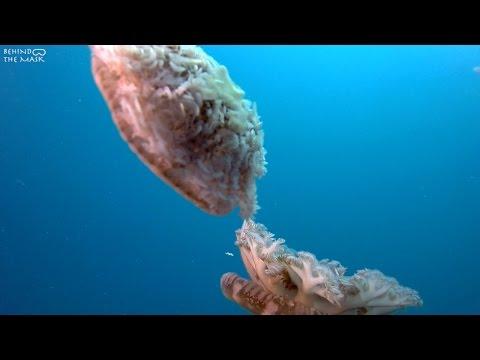 Upside-down Jellyfish