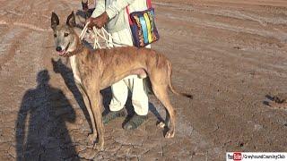 Bull x greyhound | Hunting dog breeds | working bull greyhound